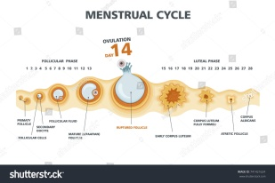stock-vector-ovulation-chart-female-menstrual-cycle-741421624